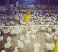 15 DAYS OLD BROILER CHICKS AVAILABLE