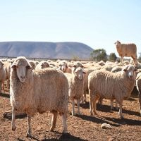Live sheeps for sale 100% Healthy Pure Blood Romanov Sheep/ Lambs