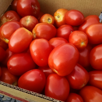 Wholesale price for organic Fresh Tomatoes