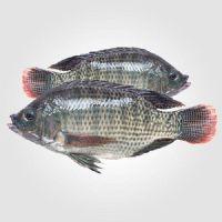 Tilapia fish for sale