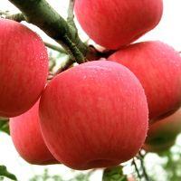 Fresh Apple Fruit Price