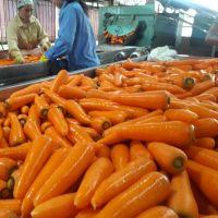 fresh carrot for sell
