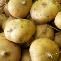 High quality jicama