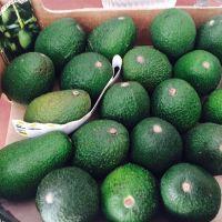Fresh Avocado / Hass Avocado, Fuerte Avocado For Sale