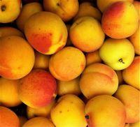 Fresh Apricot Fruits/Fresh Fruits!