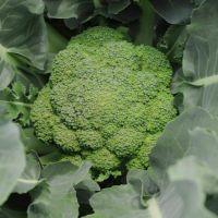 Hot Sale Fresh Broccoli / Green Broccoli