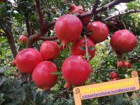 Indian Fresh Pomegranates