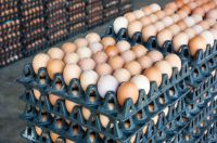 Quality Chicken Eggs Broiler Hatching Chicken Eggs Wholesale