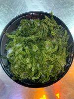 Sea Grapes Green Caviar Seaweed Sea Grapes Whatsapp 84348545435