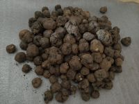 Fresh and Aromatic Uncinatum Truffles for sale