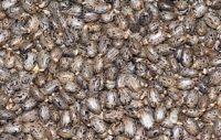 Castor Seeds, Bulk Castor Seeds.