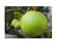 honey pomelo / grapefruit export to EU, USA - Wholesale for fresh citrus fruit / fresh pomelo fruit