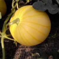 Yellow Peel red flesh seedless hybrid Watermelon Seeds for growing-Golden Seedless  3 buyers