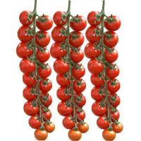 red high hybrid tomato seeds