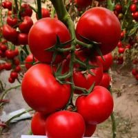 Chinese Vegetable Seeds Yellow Ty Virus-Resistant Roma Cross Tomato Seeds