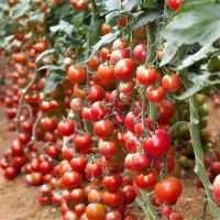 Best HIgh Yield Cold Resistant Big Red Indeterminate Hybrid F1 Tomato Seeds