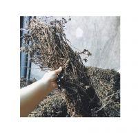 DRIED MESONA CHINENSIS/ DRIED GRASS JELLY/ GRASS JELLY LEAF STICK ( ANNIE 0084702917076 WA)