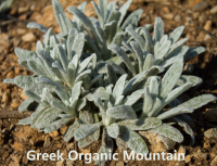 Organic Mountain Tea   Stop Alzheimer's Disease