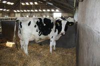 Bulls Simmental Dairy