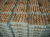 Fresh Farm Chicken Table Eggs/Fresh Chicken wholesale