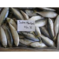 Indian Mackerel Supplier