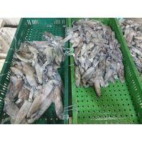 Loligo Squid Frozen Fish