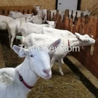 Holstein Heifers For Sale