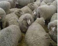 Live Awassi sheep For Sale