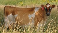Jersey Cow for sale