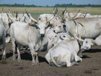 Hungarian Grey cow