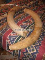 IVORY TUSKS (ELEPHANT)