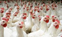 Broiler  For Sale