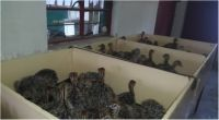 Quality Pure Bred Ostrich Chicks