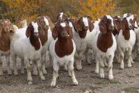 Live Boer Goats