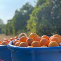 Wholesale Italian Fresh Oranges Fresh Fruit Navel Orange