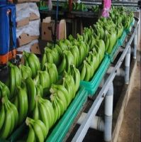FRESH SWEET CAVENDISH BANANAS FOR SALE WITH BEST PRICE AND HIGH QUALITY/ HIGH QUALITY CAVENDISH BANANAS
