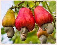 Selling best Organic Cashew Nuts