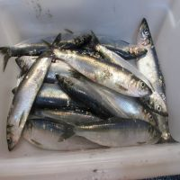 High quality whole round baltic frozen herrings fish