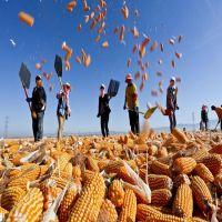 Ukranian-Top Selling Non GMO Yellow Maize/Corn