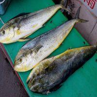 Hot Sale Cheap Price 2-4 kg Frozen Fish Mahi Mahi
