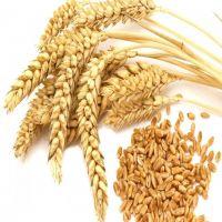 100% Organic Soft Milling Wheat Grain Best Price