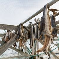 Norway Dry Stockfish For Sale / Dried StockFish / Frozen Stock Fish from Norway