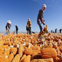 Premium Quality Non GMO yellow corn maize