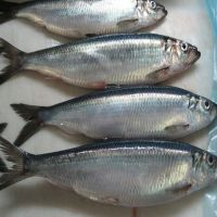Cheap smoked Frozen Herring fish for sale good quality