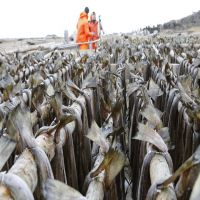 Stockfish - Cod / Tusk / Ling in 30Kg & 45Kg Bale
