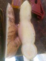 giant ginger
