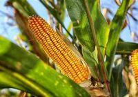 Yellow Corn  White Corn