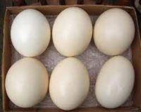 Ostrich Chicks , Fertilized Eggs,Red and Black neck Ostrich