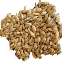 Barley Seeds / Animal feed.