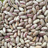 High Quality pinto Beans